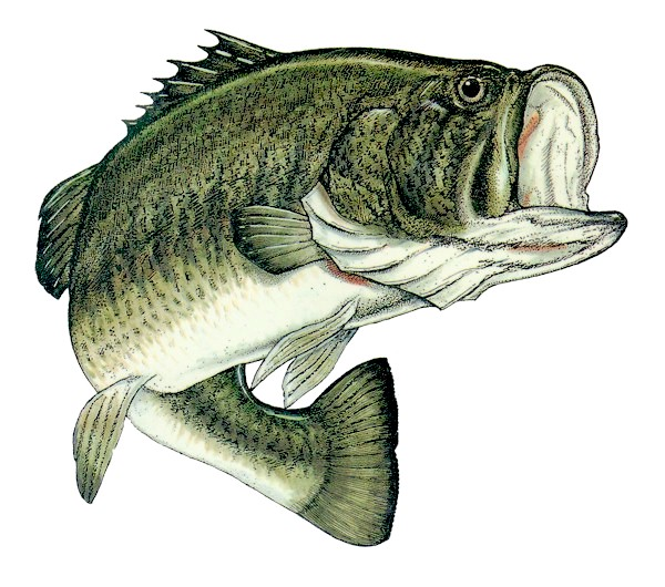 Largemouth600x530